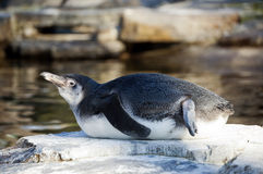 A Humboldt Penguin Royalty Free Stock Photo