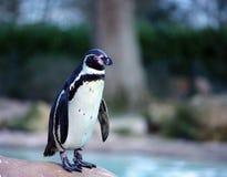 Humboldt penguin Στοκ φωτογραφία με δικαίωμα ελεύθερης χρήσης