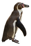 Humboldt penguin. Isolated with clipping path Royalty Free Stock Photos