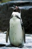 Humboldt penguin Στοκ Φωτογραφίες