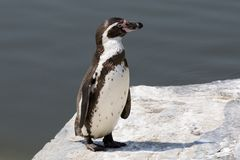 Humboldt Penguin. Unboldt Penguin on waters edge Stock Photos
