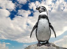 Humboldt Penguin. Lonely Humboldt Penguin on the cliff Stock Photography