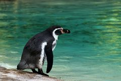 Humboldt penguin. Stock Photography
