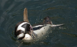 Humboldt penguin bathing Royalty Free Stock Image
