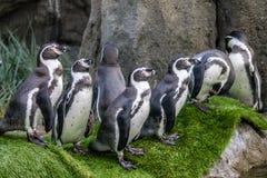 Humboldt penguin, Calgary Zoo, Calgary, Alberta, Canada stock photos