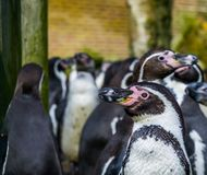 Humboldt penguin in close up with a large colony of penguins in the background, Threatened bird with vulnerable status stock photos
