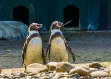 Humboldt Penguin Couple Standing Together At The Shore, Semi Aquatic Birds, Vulnerable Animal Specie From South America Stock Images