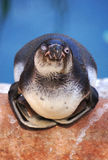 Humboldt penguin. Cute humbolt penguin with one eye open. Taken in captivity royalty free stock image