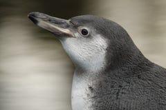 Humboldt penguin detail Stock Photos
