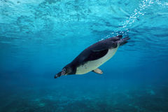 Humboldt penguin diving underwater. Humboldt penguin dives underwater, underwater view Royalty Free Stock Image