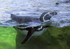 The Humboldt penguin is a flightless bird beak  Chile Peru Stock Photo