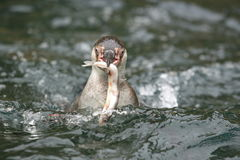 Humboldt penguin royalty free stock photography