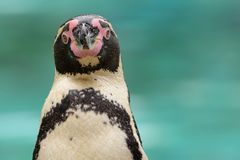 Humboldt penguin stock photography