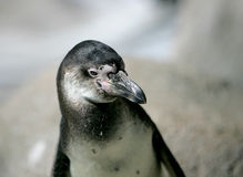 Humboldt penguin headshot. Close up of a black and white humboldt penguin Royalty Free Stock Images