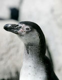 Humboldt penguin headshot. Close up of a black and white humboldt penguin Stock Photography