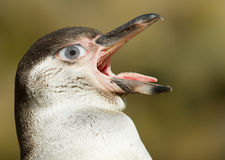 Humboldt penguin with a human eye Royalty Free Stock Images