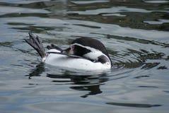 Humboldt Penguin - humboldti Spheniscus Στοκ εικόνα με δικαίωμα ελεύθερης χρήσης