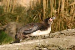 Humboldt Penguin - humboldti Spheniscus Στοκ φωτογραφία με δικαίωμα ελεύθερης χρήσης
