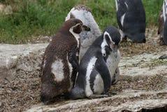 Humboldt Penguin - humboldti Spheniscus Στοκ εικόνες με δικαίωμα ελεύθερης χρήσης
