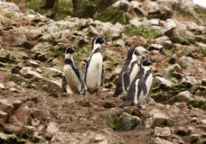 Humboldt Penguin in the island Ballestas, Paracas National Park in Peru. Royalty Free Stock Photos