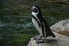 Humboldt penguin. Before the  jump into the water Stock Image