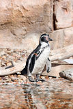 Humboldt penguin  in a marineland. Humboldt penguin  in a zoo, Marineland, Spain Stock Photo