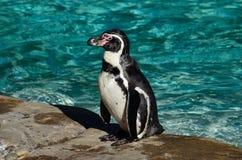 Humboldt Penguin. The Humboldt penguin is named after the German naturalist Alexander von Humboldt. Habitat: Chile, Peru Royalty Free Stock Images