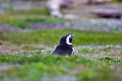 Humboldt penguin in nest in grass in Argentina royalty free stock image