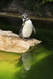 Humboldt penguin. Stock Photos
