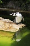 Humboldt penguin. Royalty Free Stock Photo