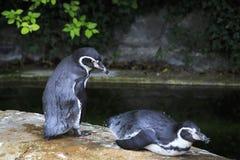 Humboldt penguin. Stock Image