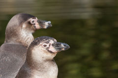 Humboldt penguin portrait Stock Photography