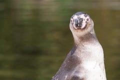 Humboldt penguin portrait stock images
