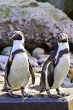 Humboldt penguin posing. Beautifully on the rock Stock Photography