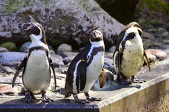 Humboldt penguin posing. Beautifully on the rock Royalty Free Stock Images