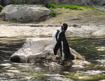 Humboldt penguin preens Stock Photography
