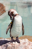 Humboldt penguin on a rock in a marineland Stock Images