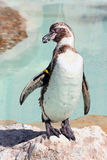 Humboldt penguin on a rock in a marineland Stock Photo