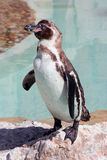 Humboldt penguin on a rock in a marineland Stock Image