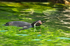Humboldt penguin at Schoenbrunn park Zoo in Vienna Royalty Free Stock Photo