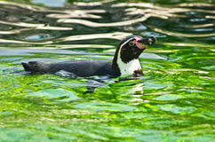 Humboldt penguin at Schoenbrunn park Zoo in Vienna Royalty Free Stock Photos