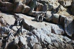 Humboldt penguin, Spheniscus Humboldt National Park the Ballestas Islands - Peru Stock Photos