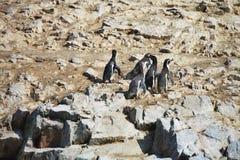 Humboldt penguin, Spheniscus Humboldt National Park the Ballestas Islands - Peru Stock Images