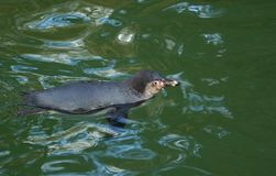 Humboldt Penguin (Spheniscus humboldti) Stock Images