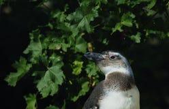 The Humboldt Penguin (Spheniscus humboldti) Royalty Free Stock Photography