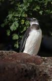 The Humboldt Penguin (Spheniscus humboldti) Stock Photos
