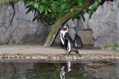 Humboldt Penguin, Spheniscus humboldti Stock Photos