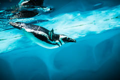 Humboldt Penguin (Spheniscus humboldti). Also termed Peruvian Penguin, or Patranca, swimming in the clear water Royalty Free Stock Image