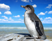 The Humboldt Penguin Royalty Free Stock Images