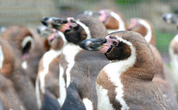 The Humboldt Penguin Royalty Free Stock Image